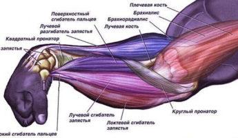 Анатомия мышц руки человека