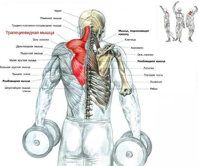 Прокачать мышцы спины в домашних условиях 186