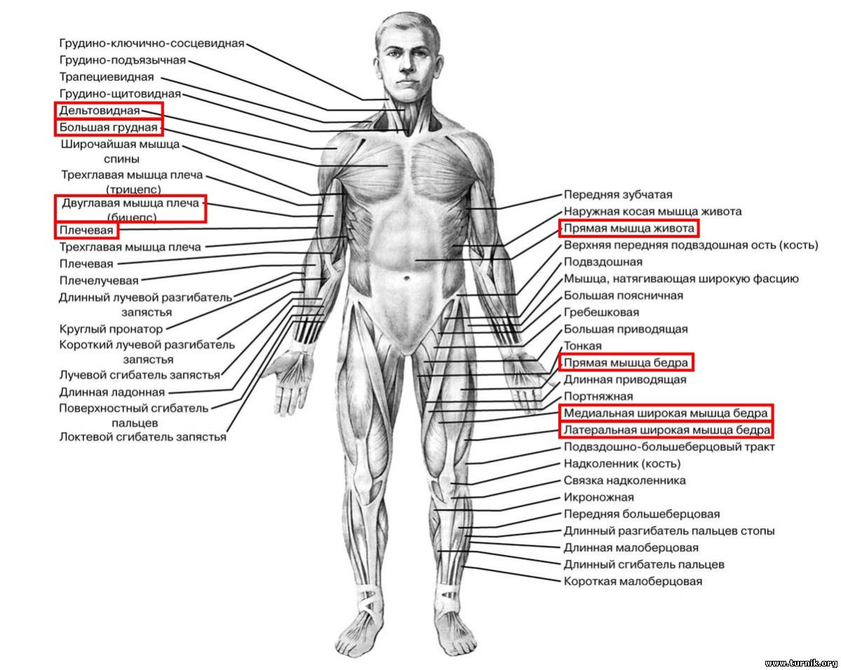 Какие мышцы работают при выходе силой