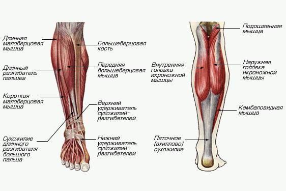 Голень ноги: особенности анатомического строения