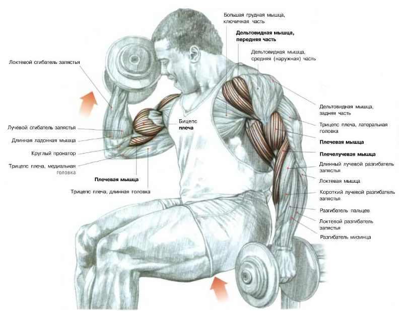 Подъем гантелей на бицепс с супинацией: мышцы