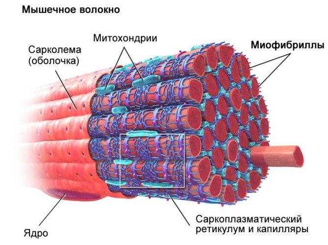 Схема роста мышц