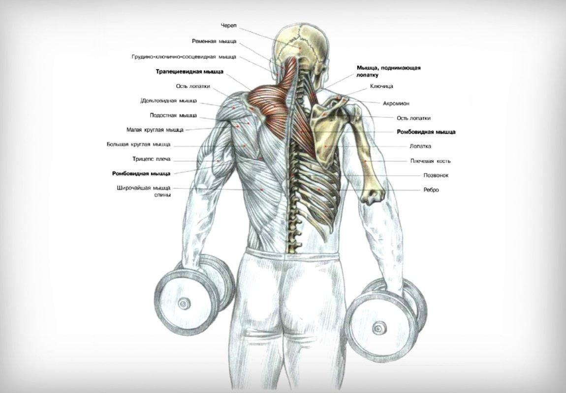Мышцы работающие при упражнении шраги