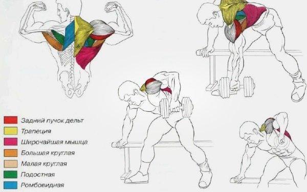 Мышцы при тяге гантелей к поясу